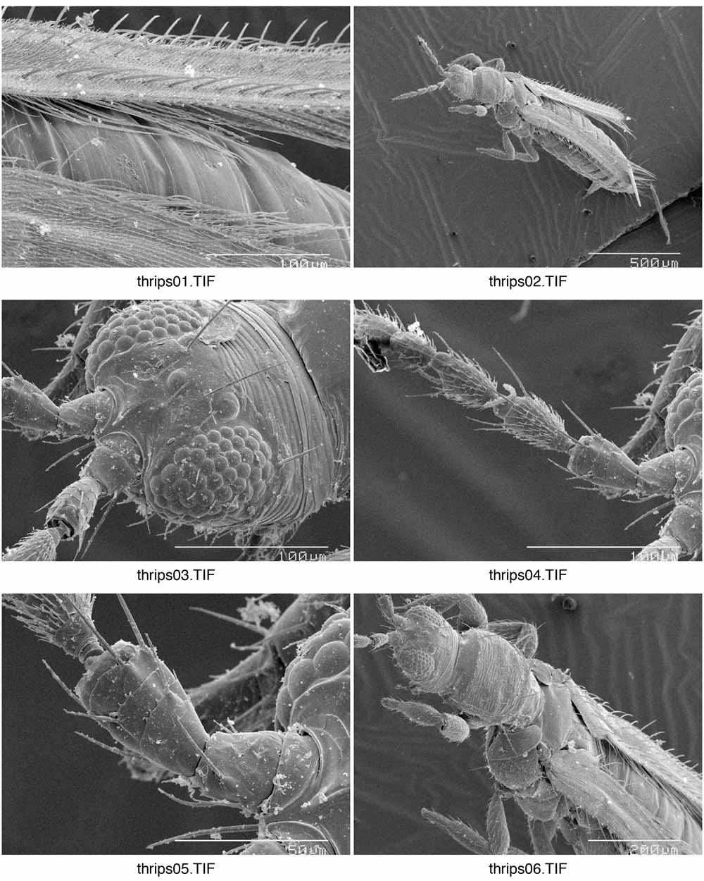 scanning electron micrographs  sem  of thysanoptera